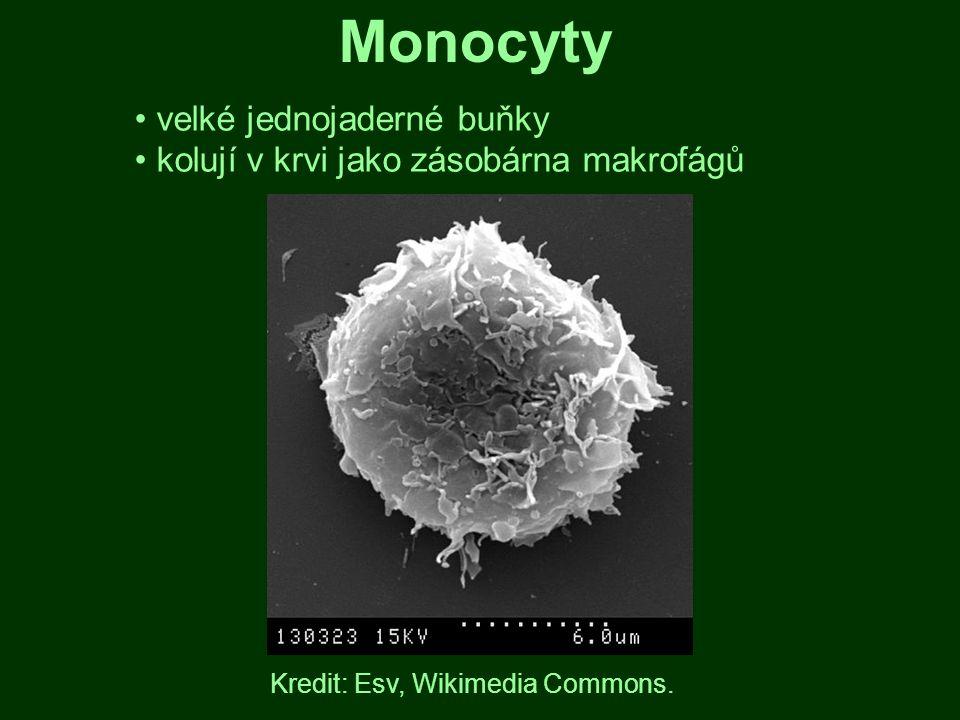 Monocyty velké jednojaderné buňky kolují v krvi jako zásobárna makrofágů Kredit: Esv, Wikimedia Commons.