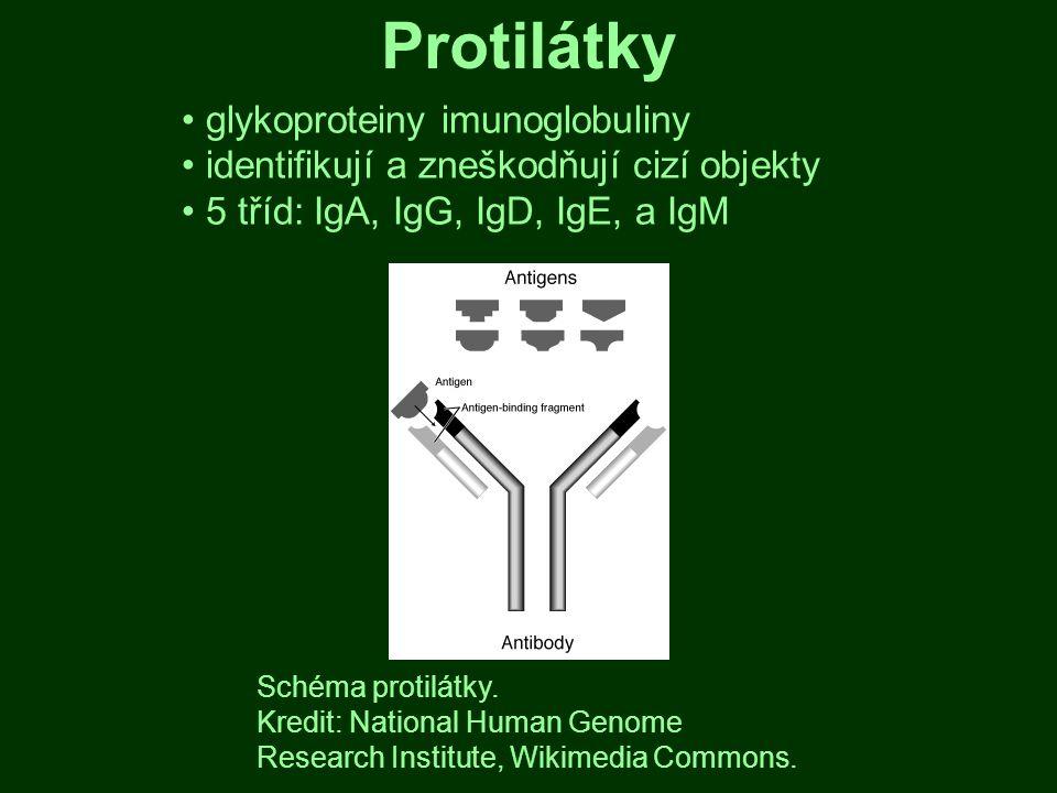 Protilátky glykoproteiny imunoglobuliny identifikují a zneškodňují cizí objekty 5 tříd: IgA, IgG, IgD, IgE, a IgM Schéma protilátky. Kredit: National