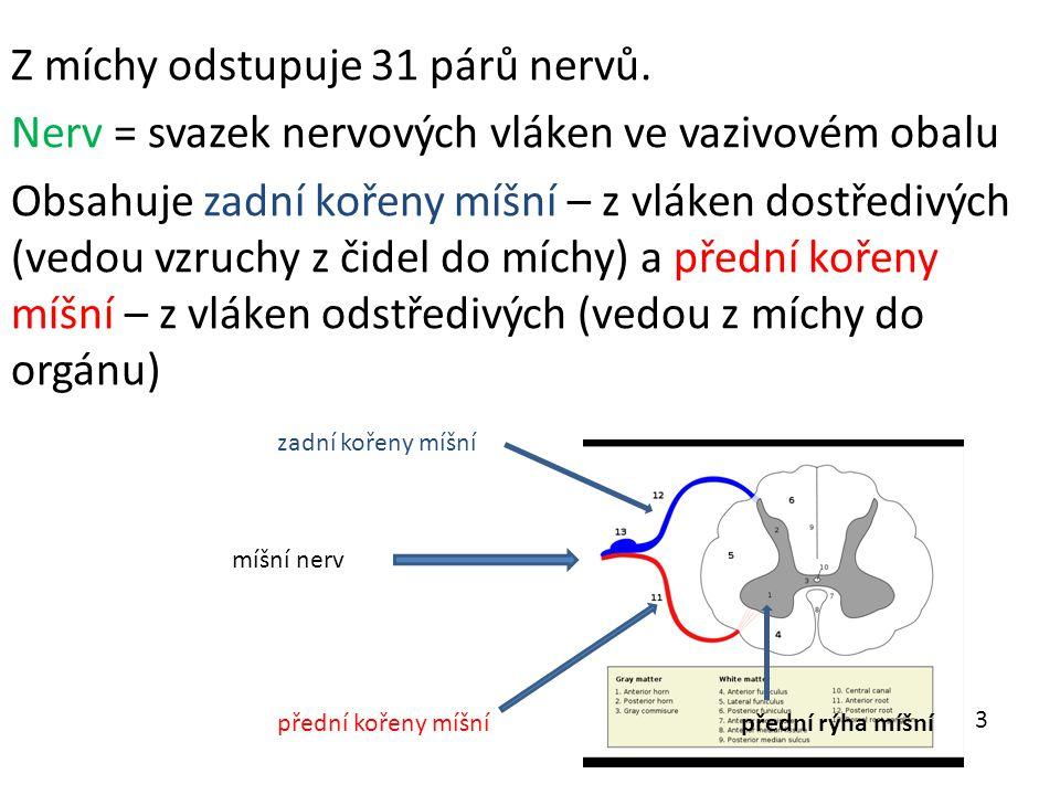Z míchy odstupuje 31 párů nervů.