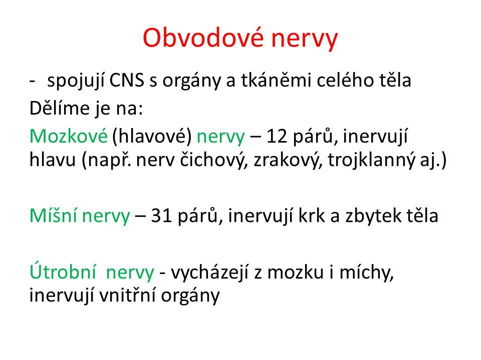 Obvodové nervy -spojují CNS s orgány a tkáněmi celého těla Dělíme je na: Mozkové (hlavové) nervy – 12 párů, inervují hlavu (např.
