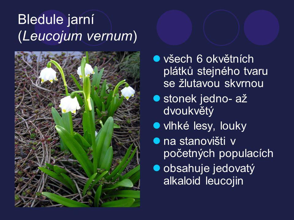Bledule jarní (Leucojum vernum) všech 6 okvětních plátků stejného tvaru se žlutavou skvrnou stonek jedno- až dvoukvětý vlhké lesy, louky na stanovišti