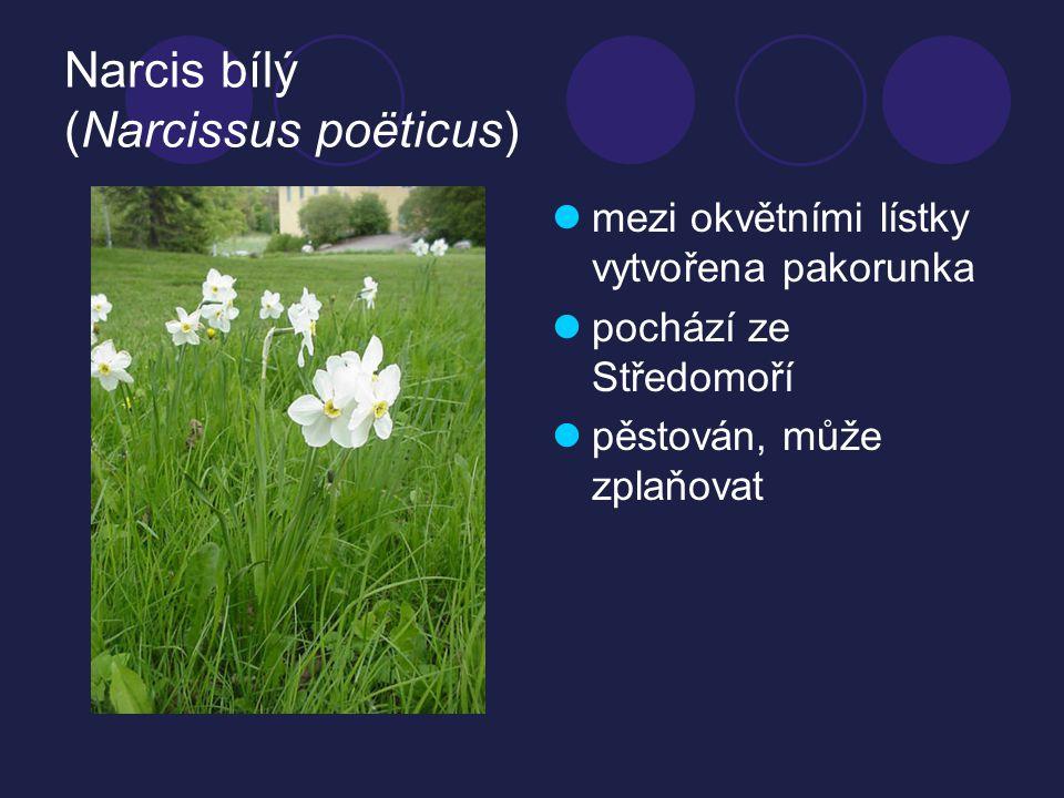 Narcis bílý (Narcissus poëticus) mezi okvětními lístky vytvořena pakorunka pochází ze Středomoří pěstován, může zplaňovat