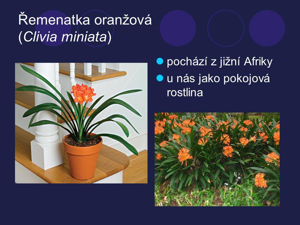 Řemenatka oranžová (Clivia miniata) pochází z jižní Afriky u nás jako pokojová rostlina
