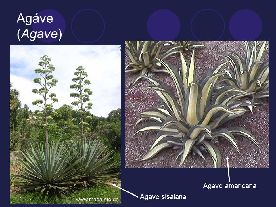 Agáve (Agave) Agave sisalana Agave amaricana
