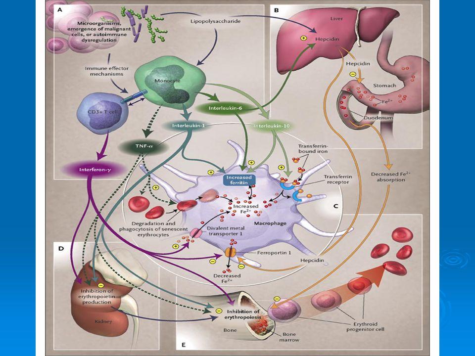 mikrocyty mitózy prodloužená hemoglobinizace nedostatek Fe Proč je sideropenická anémie mikrocytární.