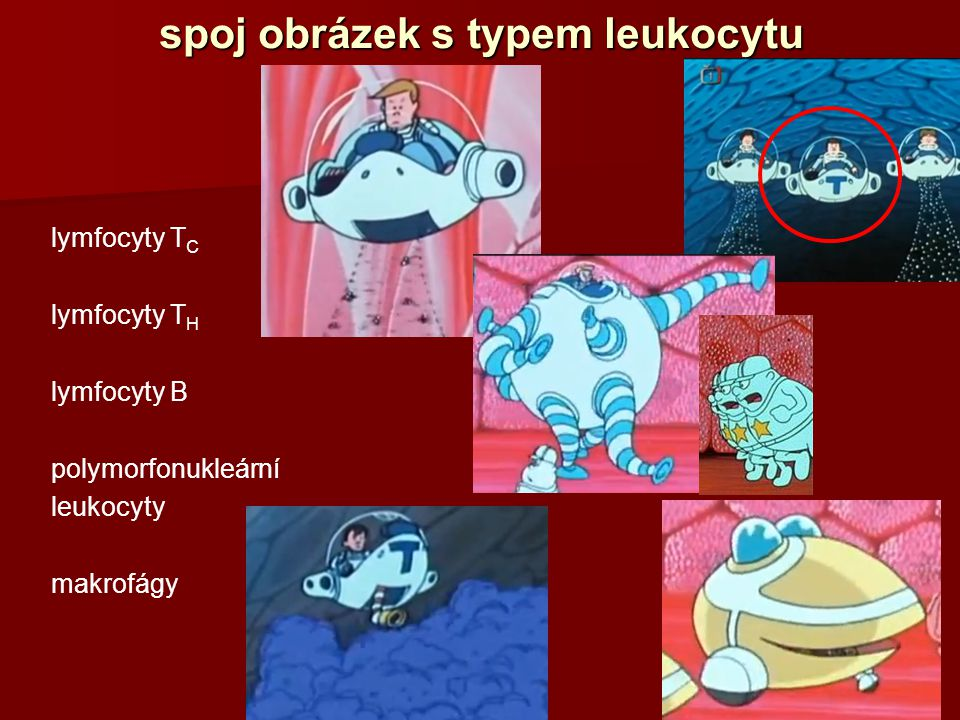 spoj obrázek s typem leukocytu lymfocyty T C lymfocyty T H lymfocyty B polymorfonukleární leukocyty makrofágy
