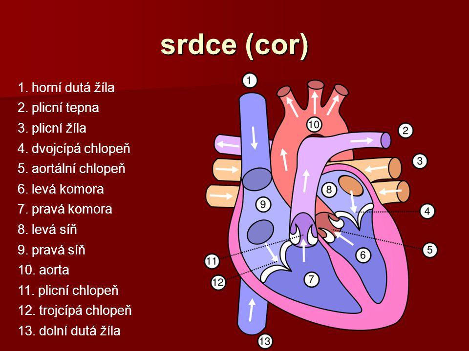 srdce (cor) 1. horní dutá žíla 2. plicní tepna 3. plicní žíla 4. dvojcípá chlopeň 5. aortální chlopeň 6. levá komora 7. pravá komora 8. levá síň 9. pr
