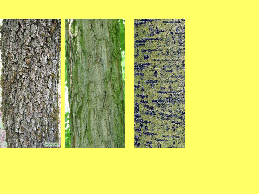 VODIVÁ PLETIVA ● Transport vody a v ní rozpuštěných látek ● Tansport asimilátů Vodivá pletiva : cévní svazky ● Dřevní část = xylém -vede roztoky z půdy do stonků a listů ● Lýková část = floém – vede asimiláty z listů k místu spotřeby nebo do zásob.