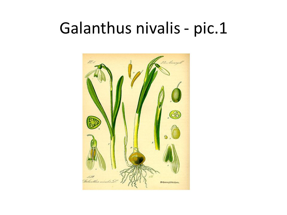 Galanthus nivalis Galanthus nivalis, the snowdrop - snowdrops are among the first bulbs to bloom in spring Snowdrops contain an active substance called galantamine, (or galanthamine), which can be helpful in the treatment of Alzheimer s disease, though it is not a cure.