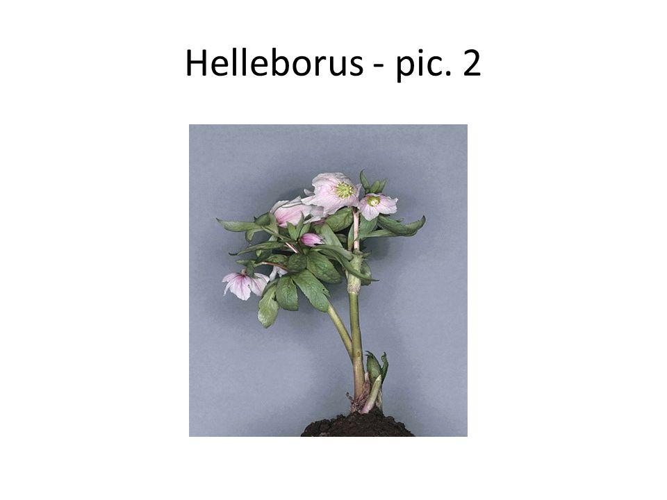 Helleborus - pic. 2