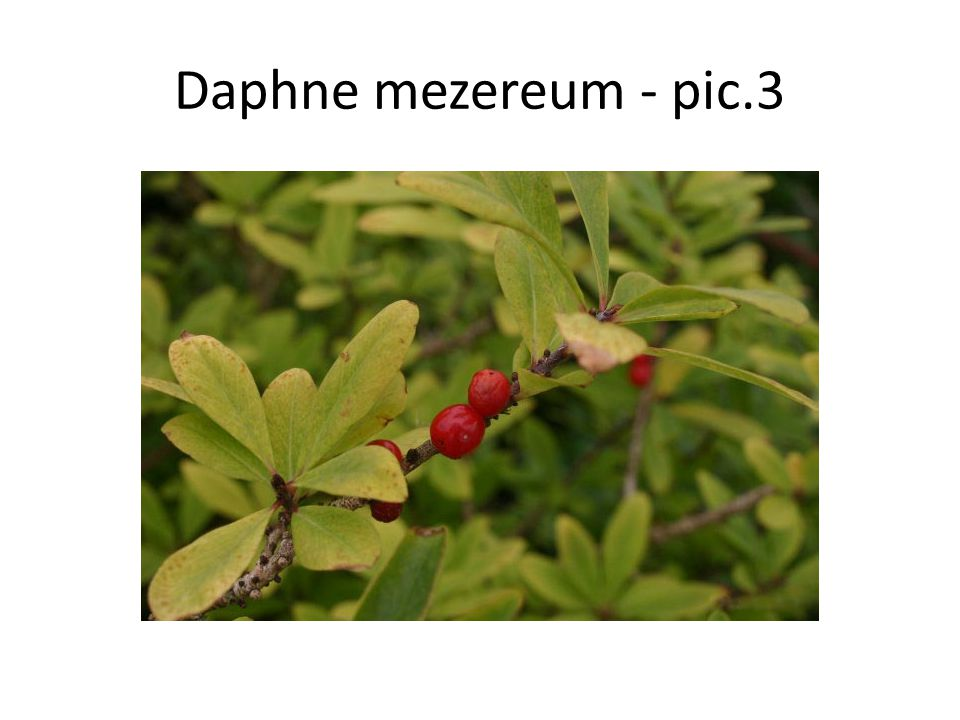 Daphne mezereum Daphne mezereum, commonly known as mezereon, is a species of native to most of Europe and Western Asia, north to northern Scandinavia and Russia.