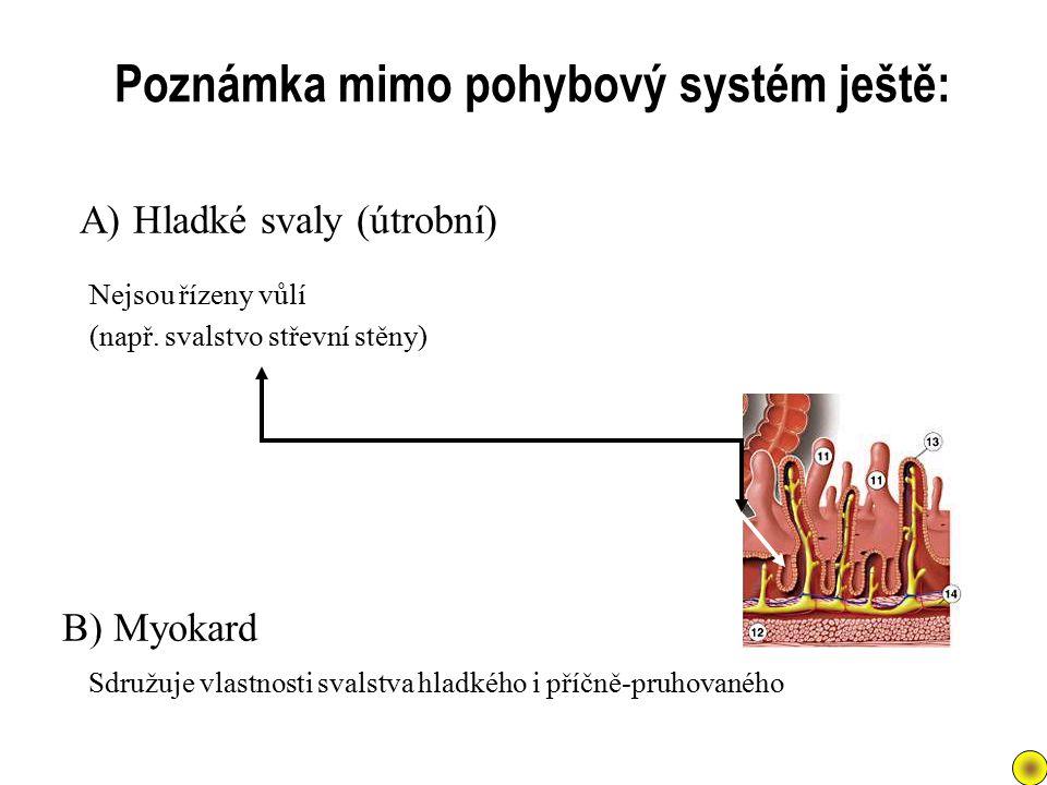 Nejsou řízeny vůlí (např. svalstvo střevní stěny) A) Hladké svaly (útrobní) Poznámka mimo pohybový systém ještě: B) Myokard Sdružuje vlastnosti svalst