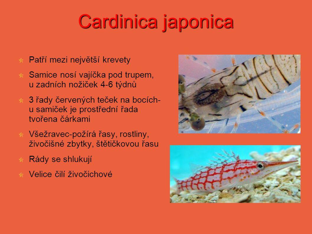 Cardinica japonica Patří mezi největší krevety Samice nosí vajíčka pod trupem, u zadních nožiček 4-6 týdnů 3 řady červených teček na bocích- u samiček je prostřední řada tvořena čárkami Všežravec-požírá řasy, rostliny, živočišné zbytky, štětičkovou řasu Rády se shlukují Velice čilí živočichové