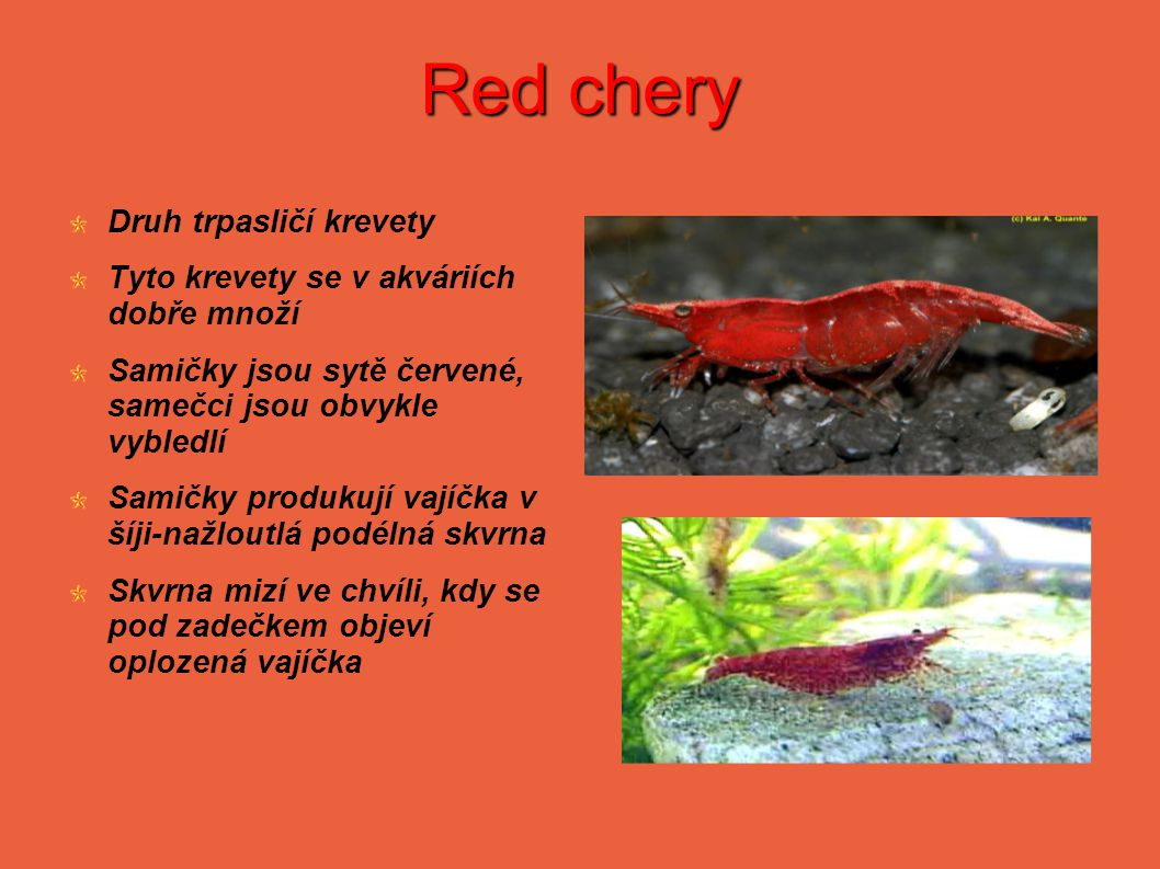 Red chery Druh trpasličí krevety Tyto krevety se v akváriích dobře množí Samičky jsou sytě červené, samečci jsou obvykle vybledlí Samičky produkují vajíčka v šíji-nažloutlá podélná skvrna Skvrna mizí ve chvíli, kdy se pod zadečkem objeví oplozená vajíčka