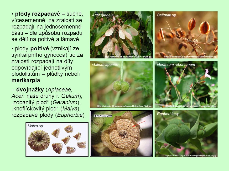 plody rozpadavé – suché, vícesemenné, za zralosti se rozpadají na jednosemenné části – dle způsobu rozpadu se dělí na poltivé a lámavé plody poltivé (