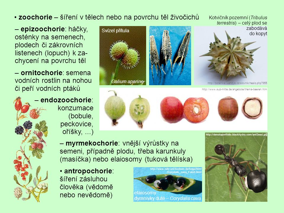 zoochorie – šíření v tělech nebo na povrchu těl živočichů – epizoochorie: háčky, osténky na semenech, plodech či zákrovních listenech (lopuch) k za- c