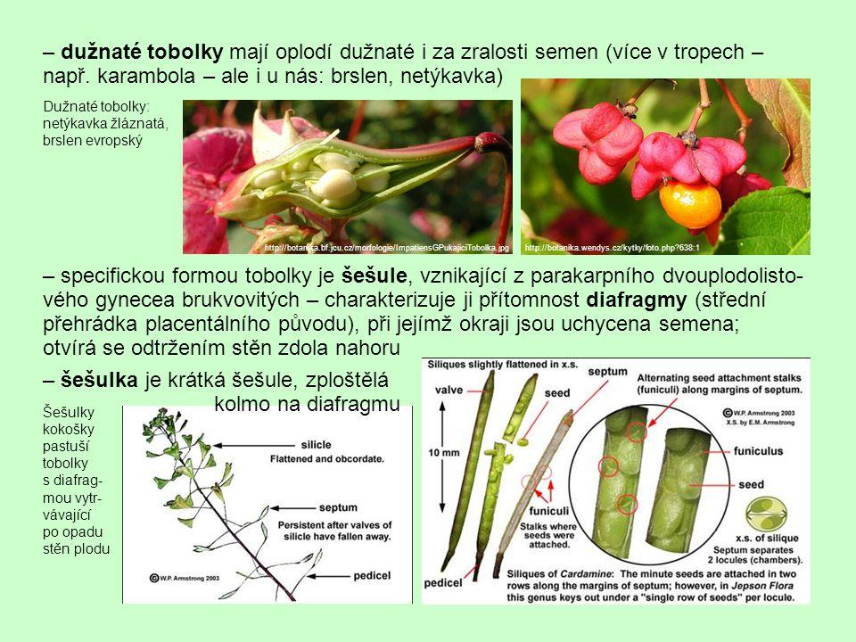 – dužnaté tobolky mají oplodí dužnaté i za zralosti semen (více v tropech – např. karambola – ale i u nás: brslen, netýkavka) http://botanika.bf.jcu.c
