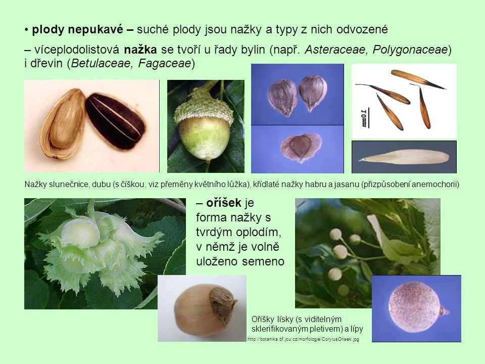 plody nepukavé – suché plody jsou nažky a typy z nich odvozené – víceplodolistová nažka se tvoří u řady bylin (např. Asteraceae, Polygonaceae) i dřevi