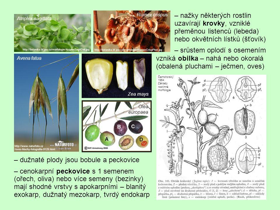 """– bobule je vícesemenný plod s dužnatým oplodím s vnější blanitou """"slupkou (na rozdíl od peckovice nemá žádnou tvrdou vrstvu vně semene) specifické typy bobulí: – granatiny (granát."""