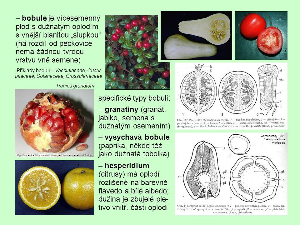 """– bobule je vícesemenný plod s dužnatým oplodím s vnější blanitou """"slupkou"""" (na rozdíl od peckovice nemá žádnou tvrdou vrstvu vně semene) specifické t"""