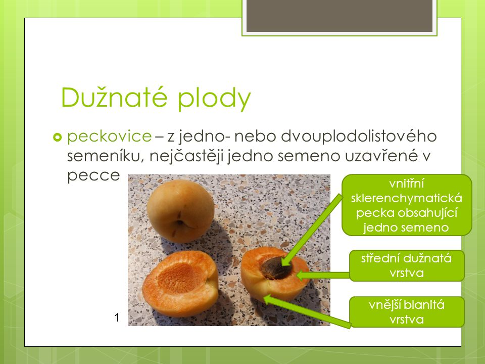 Dužnaté plody  peckovice – z jedno- nebo dvouplodolistového semeníku, nejčastěji jedno semeno uzavřené v pecce vnitřní sklerenchymatická pecka obsahující jedno semeno střední dužnatá vrstva vnější blanitá vrstva 1