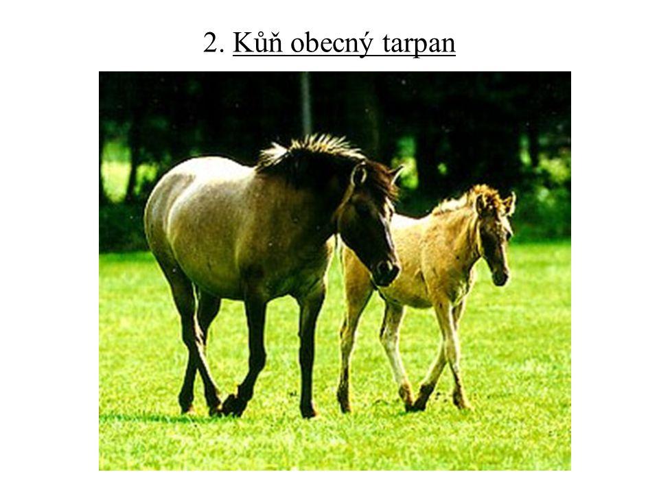 2. Kůň obecný tarpan