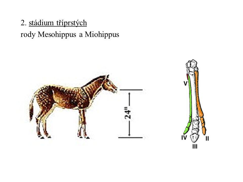 2. stádium tříprstých rody Mesohippus a Miohippus