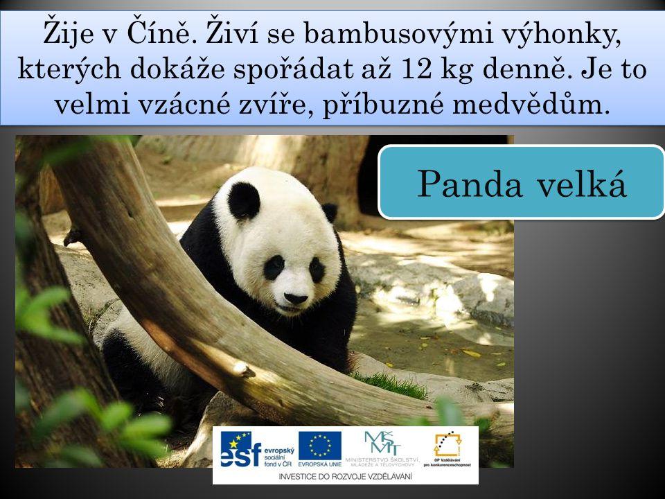 Žije v Číně. Živí se bambusovými výhonky, kterých dokáže spořádat až 12 kg denně. Je to velmi vzácné zvíře, příbuzné medvědům. Panda velká