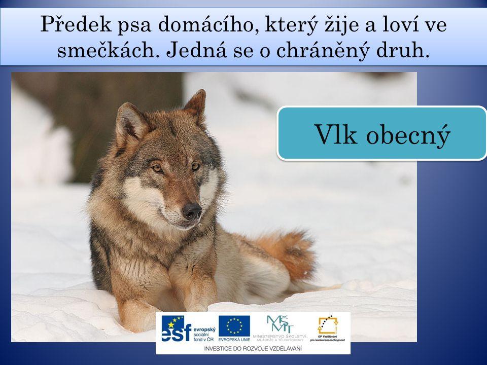 Předek psa domácího, který žije a loví ve smečkách. Jedná se o chráněný druh. Vlk obecný