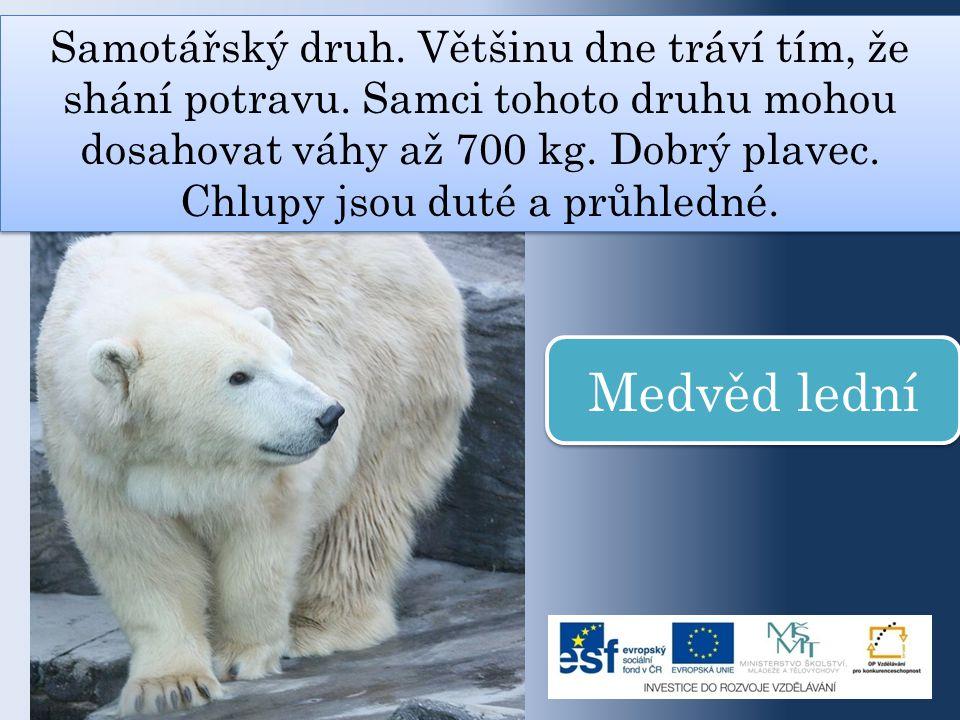 Samotářský druh. Většinu dne tráví tím, že shání potravu. Samci tohoto druhu mohou dosahovat váhy až 700 kg. Dobrý plavec. Chlupy jsou duté a průhledn