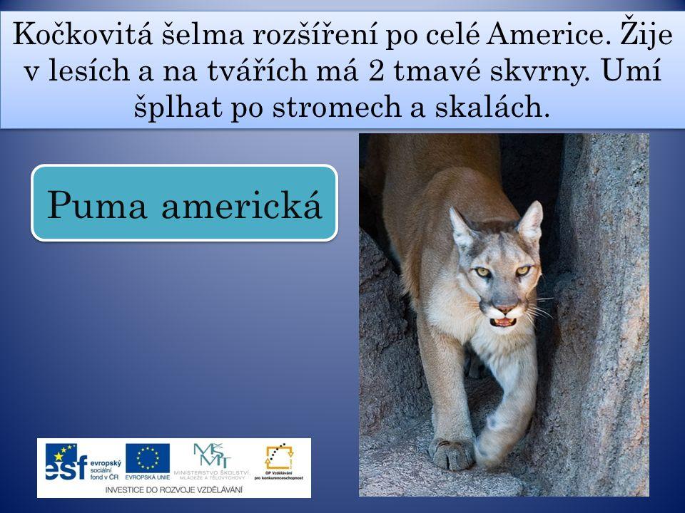 Kočkovitá šelma rozšíření po celé Americe. Žije v lesích a na tvářích má 2 tmavé skvrny. Umí šplhat po stromech a skalách. Puma americká