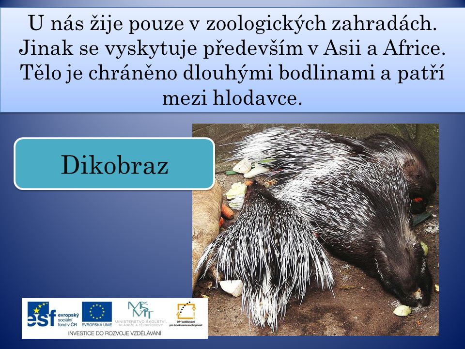 U nás žije pouze v zoologických zahradách. Jinak se vyskytuje především v Asii a Africe. Tělo je chráněno dlouhými bodlinami a patří mezi hlodavce. Di