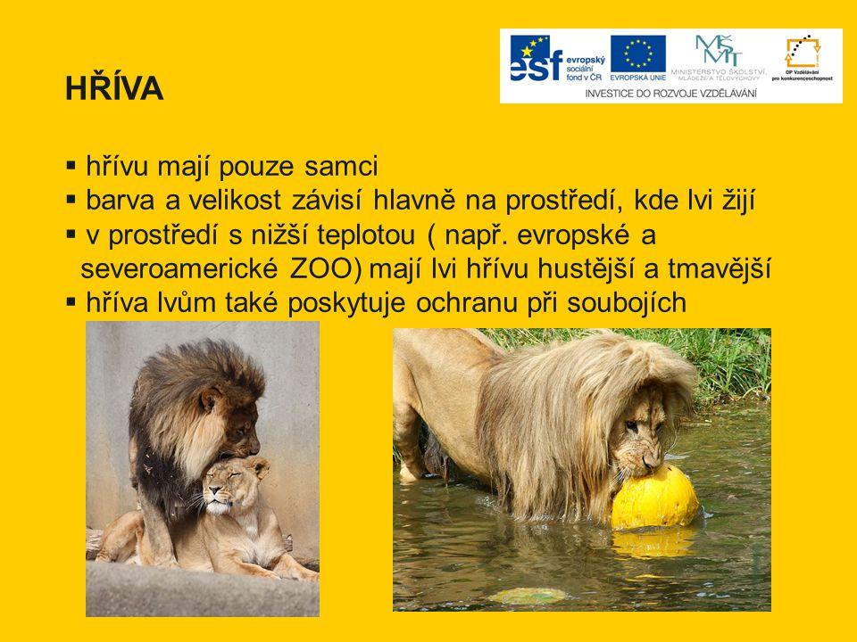 HŘÍVA  hřívu mají pouze samci  barva a velikost závisí hlavně na prostředí, kde lvi žijí  v prostředí s nižší teplotou ( např. evropské a severoame