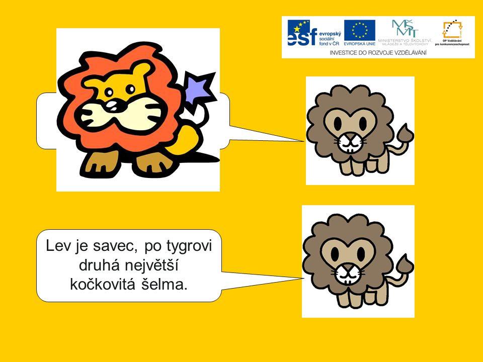 Lev je savec, největší kočkovitá šelma. Lev je savec, po tygrovi druhá největší kočkovitá šelma.