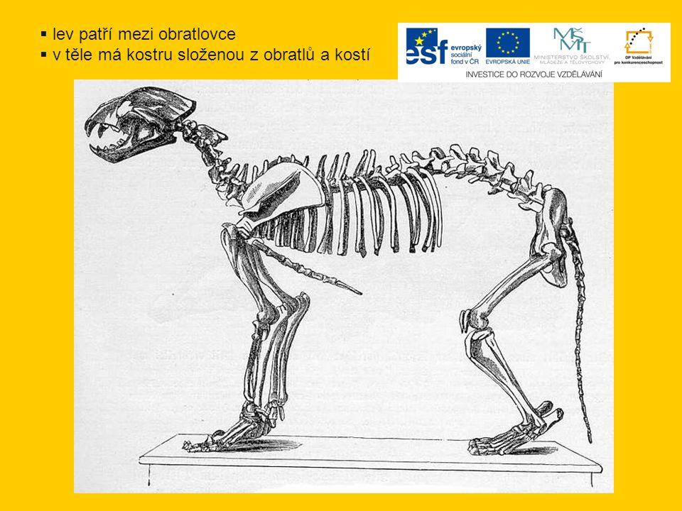  lev patří mezi obratlovce  v těle má kostru složenou z obratlů a kostí