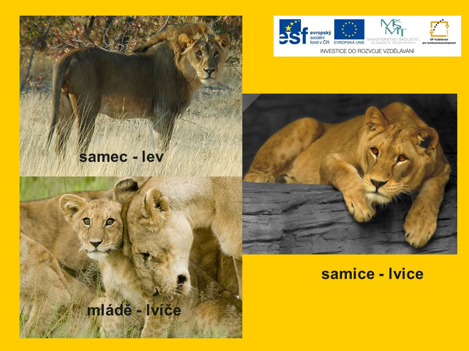samec - lev mládě - lvíče samice - lvice