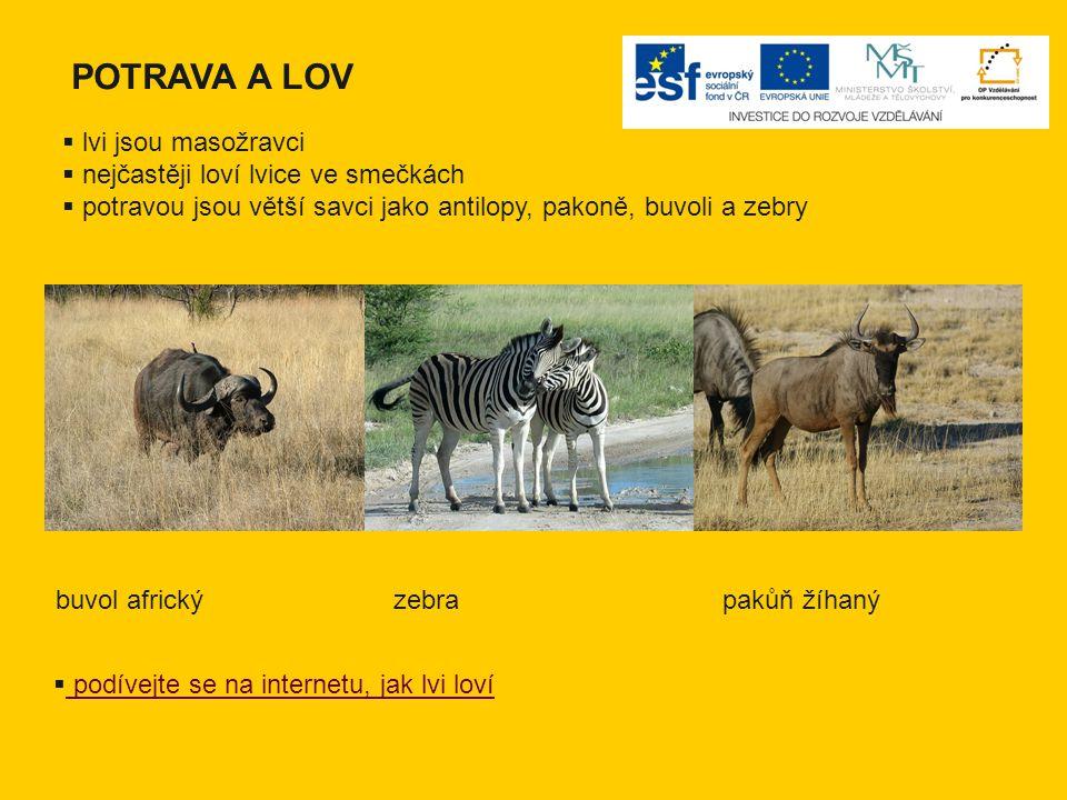 POTRAVA A LOV  lvi jsou masožravci  nejčastěji loví lvice ve smečkách  potravou jsou větší savci jako antilopy, pakoně, buvoli a zebry buvol africk