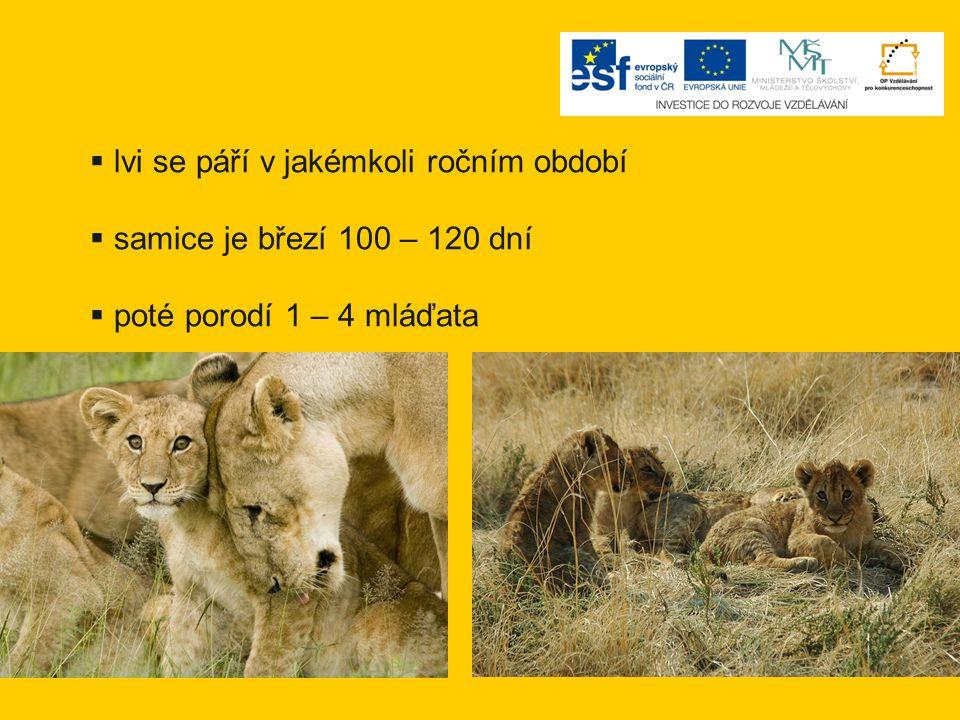  lvi se páří v jakémkoli ročním období  samice je březí 100 – 120 dní  poté porodí 1 – 4 mláďata