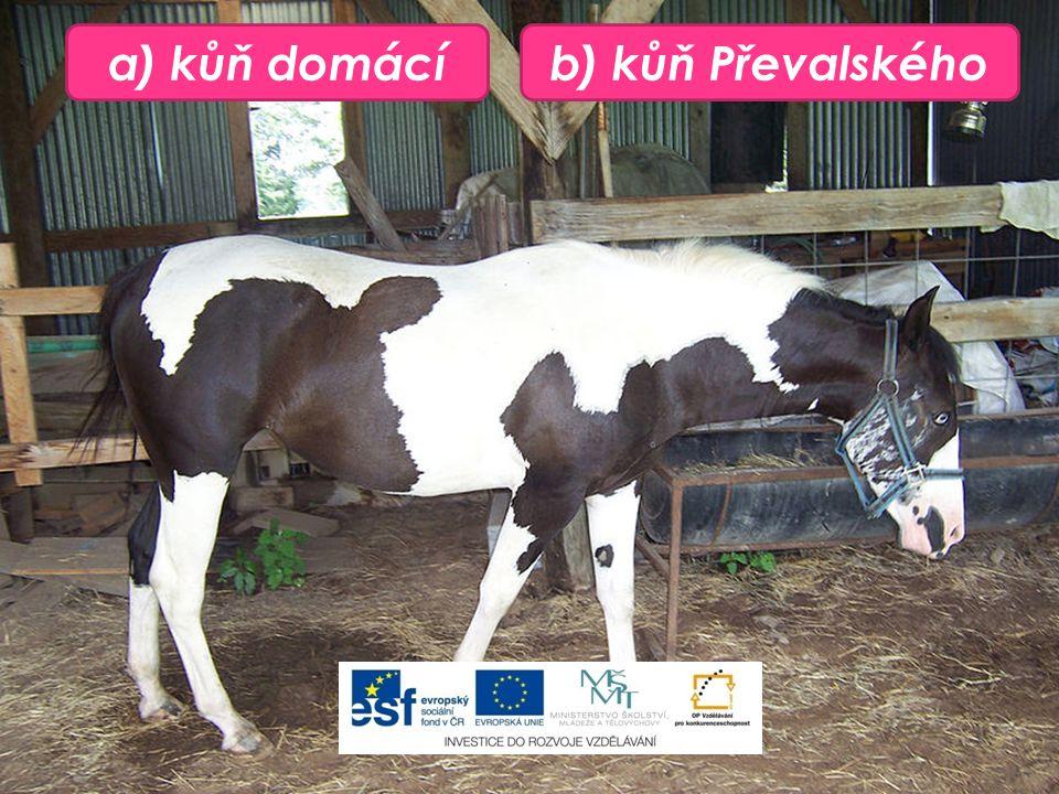 a) kůň domácíb) kůň Převalského