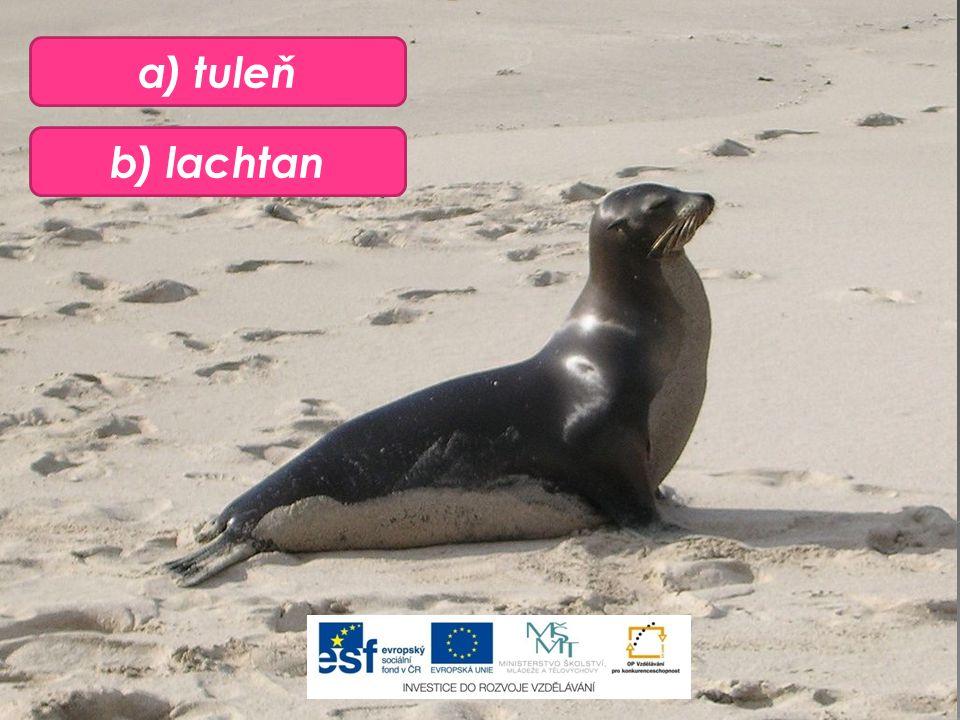 b) lachtan a) tuleň