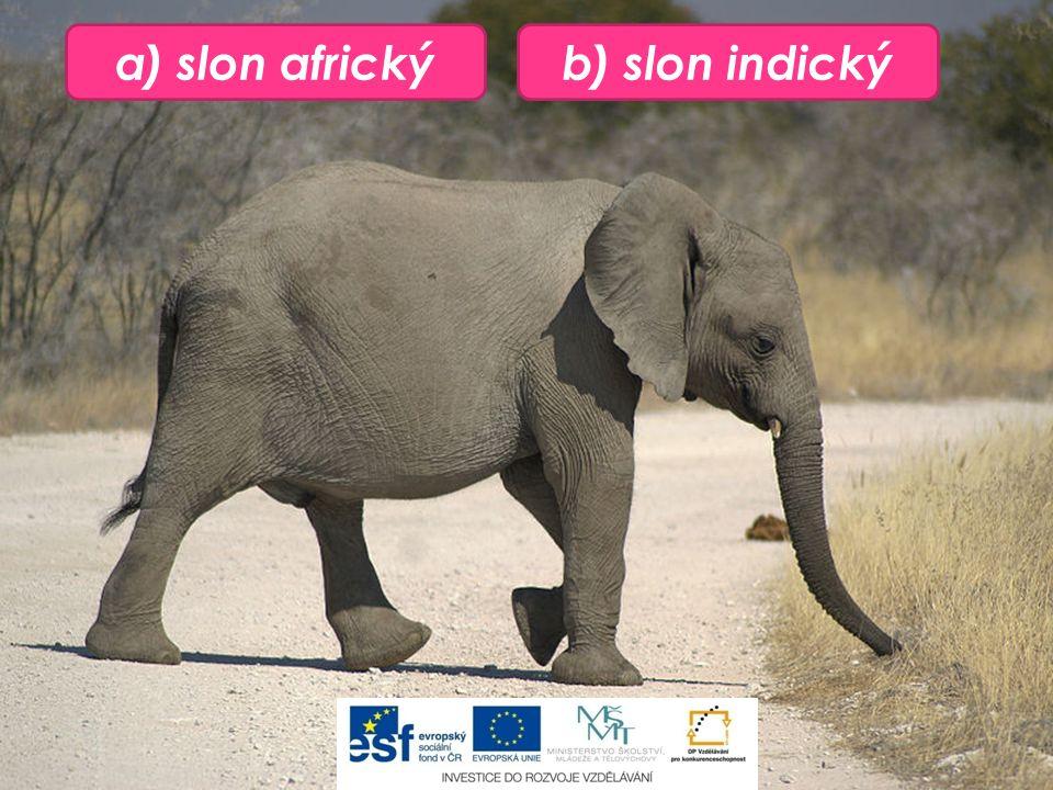 a) slon africkýb) slon indický