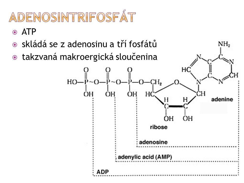  ATP  skládá se z adenosinu a tří fosfátů  takzvaná makroergická sloučenina