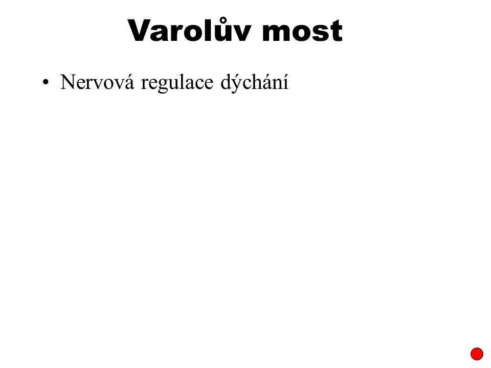 Nervová regulace dýchání Varolův most