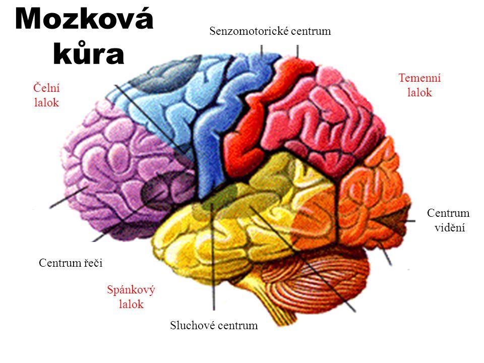 Mozková kůra složená z 15 - 25 miliard mozkových buněk - analyzátory: –s–senzitivní –z–zrakový –s–sluchový –v–vestibulární (rovnováha) –č–čichový –c–chuťový –m–motorický Asociační oblast –c–centrum řeči –s–strategie pohybu, řízení kontroly naučeného chování –ř–řízení motivace a emocí Mozková kůra