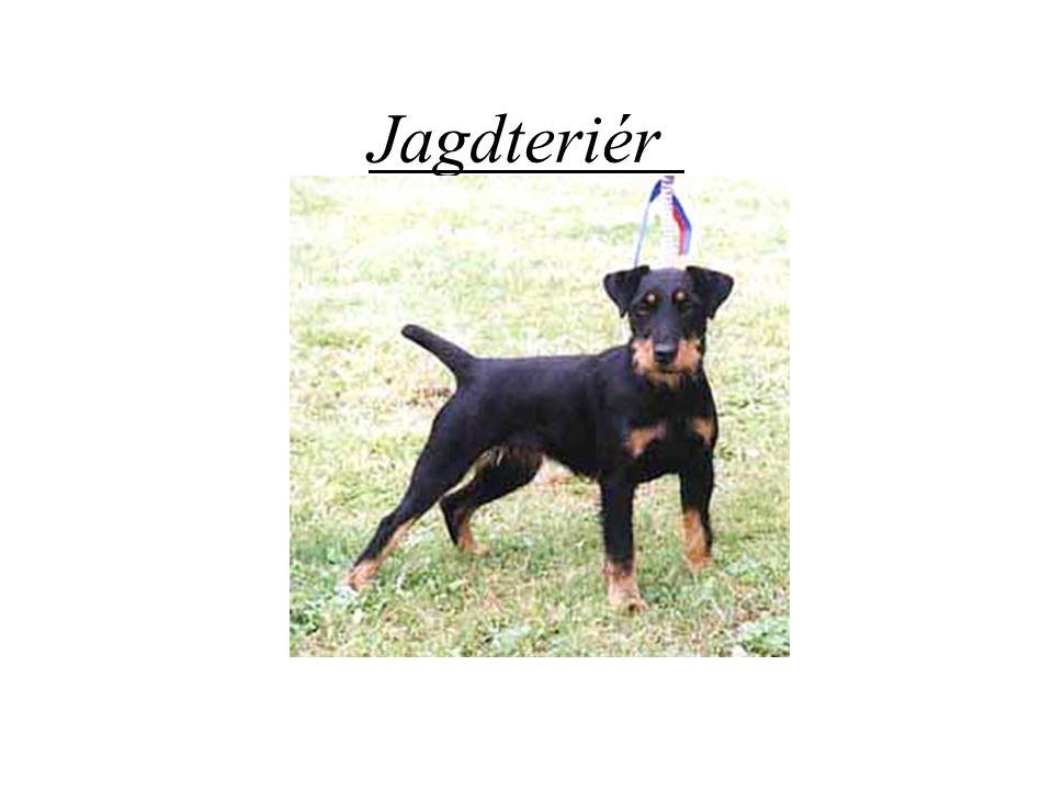 Původ a historie plemene Jagdteriér Po první světové válce se tři němečtí myslivci oddělili od kynologického klubu pro foxteriéry a rozhodli se vyšlechtit a chovat loveckého psa k práci pod zemí.