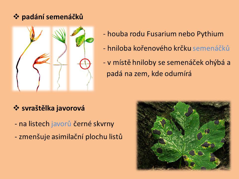  padání semenáčků  svraštělka javorová - houba rodu Fusarium nebo Pythium - hniloba kořenového krčku semenáčků - v místě hniloby se semenáček ohýbá