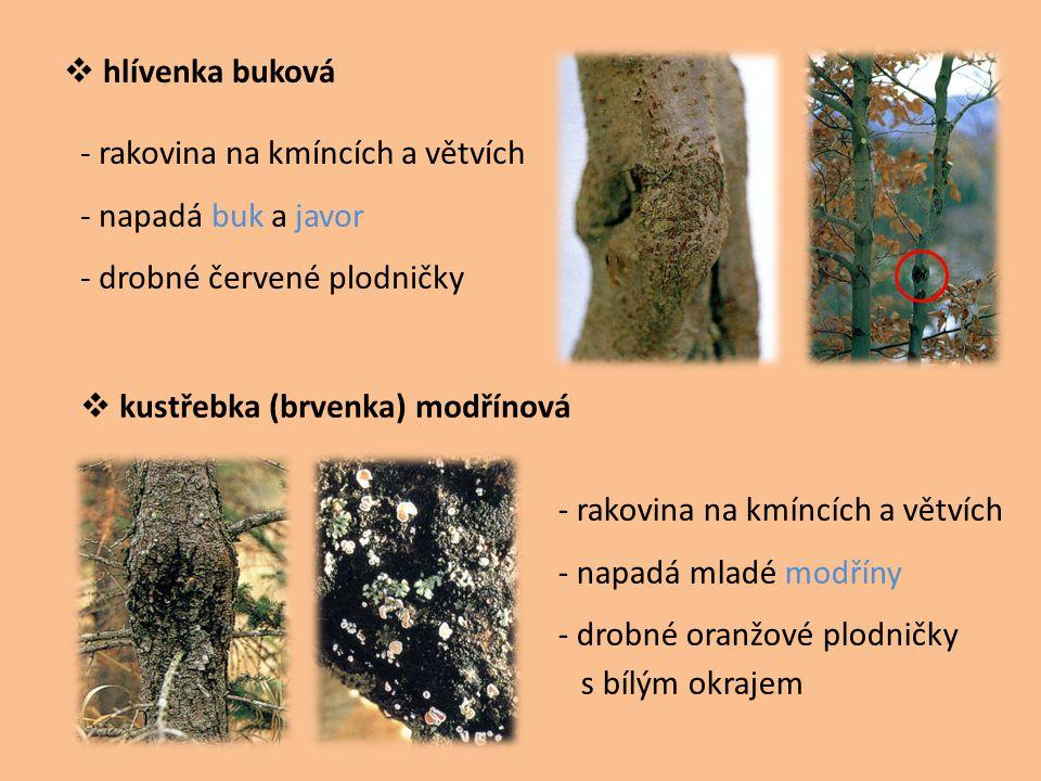  hlívenka buková  kustřebka (brvenka) modřínová - rakovina na kmíncích a větvích - napadá buk a javor - drobné červené plodničky - rakovina na kmínc
