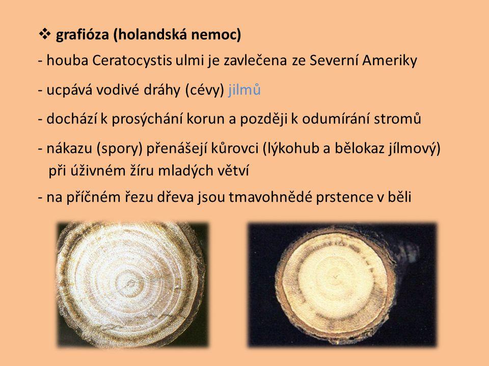  grafióza (holandská nemoc) - houba Ceratocystis ulmi je zavlečena ze Severní Ameriky - ucpává vodivé dráhy (cévy) jilmů - dochází k prosýchání korun