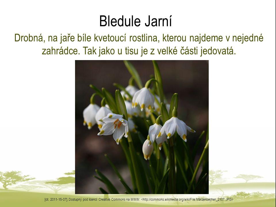 Bledule Jarní Drobná, na jaře bíle kvetoucí rostlina, kterou najdeme v nejedné zahrádce.