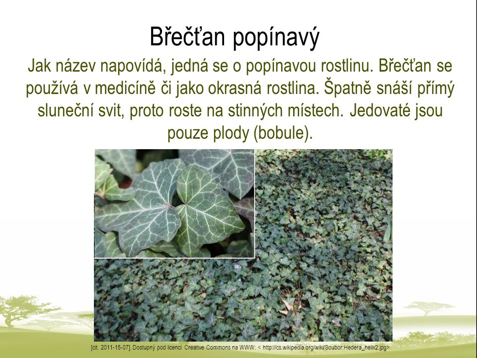 Břečťan popínavý Jak název napovídá, jedná se o popínavou rostlinu.